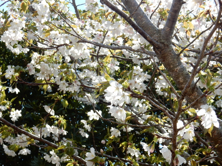 '19,4,1(月)今日も桜公園を独り占め!_f0060461_07314978.jpg
