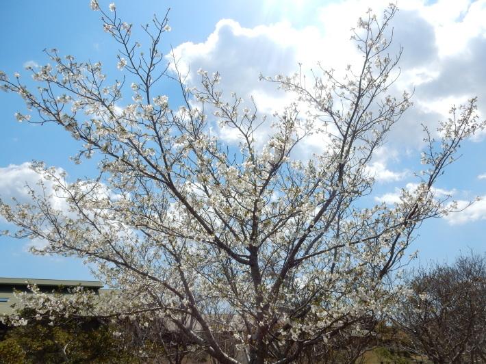 '19,4,1(月)今日も桜公園を独り占め!_f0060461_07324645.jpg