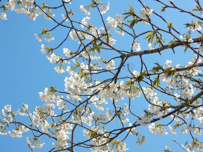 '19,4,1(月)今日も桜公園を独り占め!_f0060461_07332753.jpg