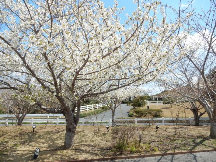 '19,4,1(月)今日も桜公園を独り占め!_f0060461_07352706.jpg