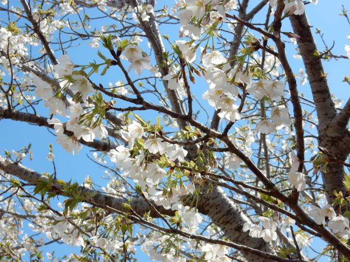 '19,4,1(月)今日も桜公園を独り占め!_f0060461_07360169.jpg