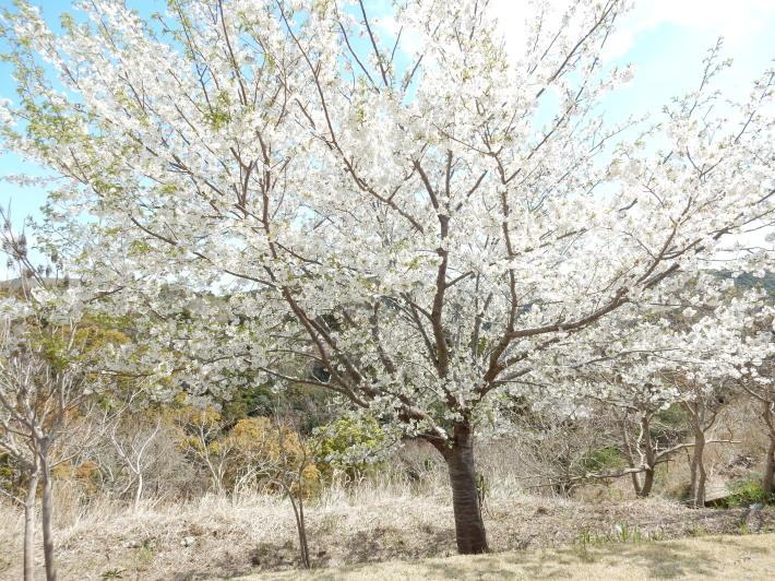 '19,4,1(月)今日も桜公園を独り占め!_f0060461_07393224.jpg