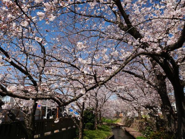 宿河原 二ヶ領用水の桜_a0351368_21204351.jpg