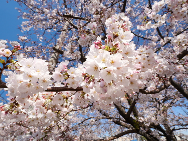 宿河原 二ヶ領用水の桜_a0351368_21211964.jpg