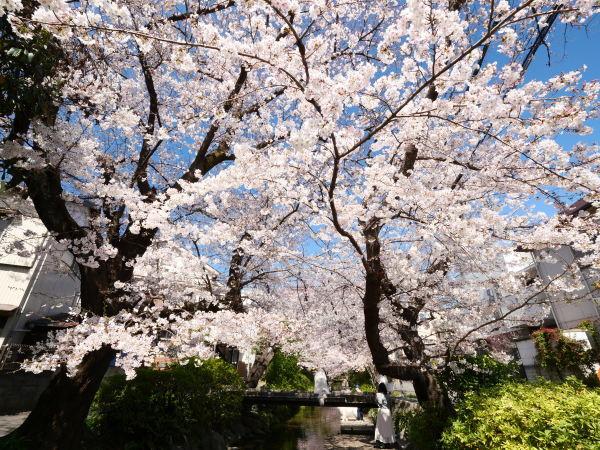 宿河原 二ヶ領用水の桜_a0351368_21214416.jpg