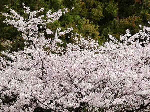 桜咲く!_a0351368_21343252.jpg