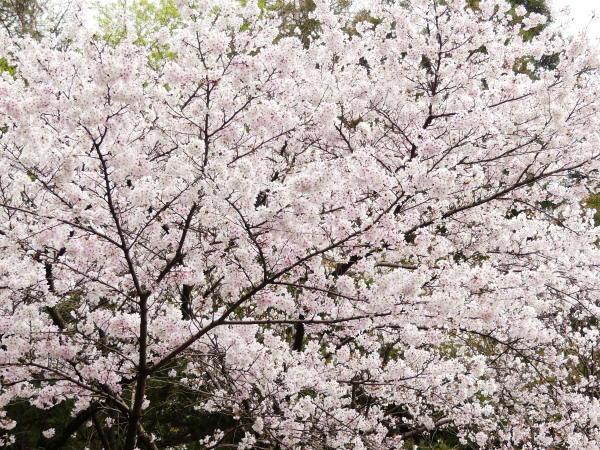 桜咲く!_a0351368_21345588.jpg