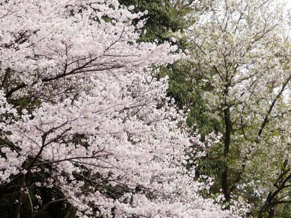 桜咲く!_a0351368_21345622.jpg