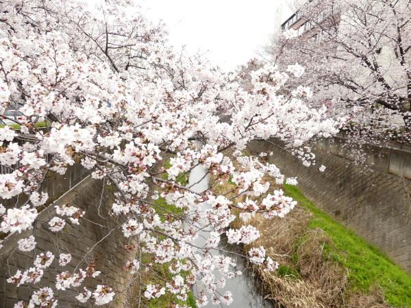 三沢川の桜並木_a0351368_21384400.jpg