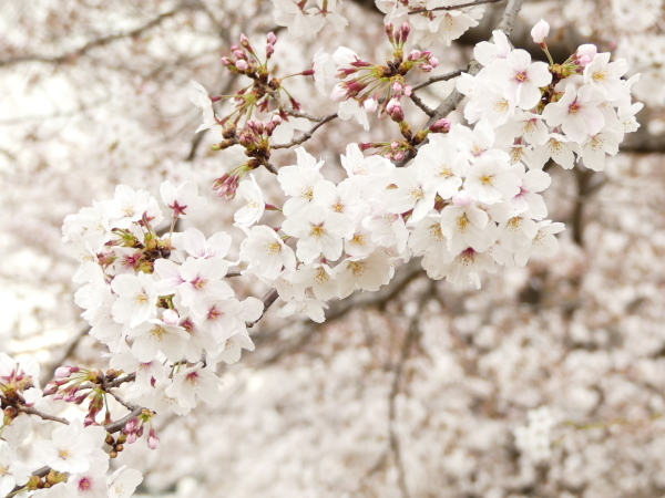 三沢川の桜並木_a0351368_21390146.jpg