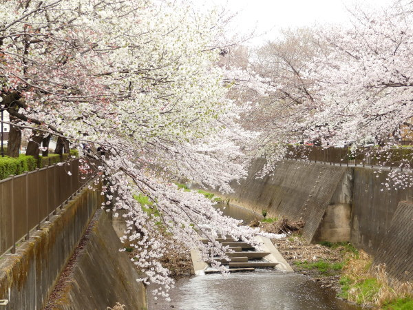 三沢川の桜並木_a0351368_21401067.jpg