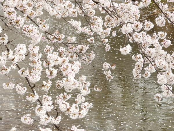 三沢川の桜並木_a0351368_21404868.jpg