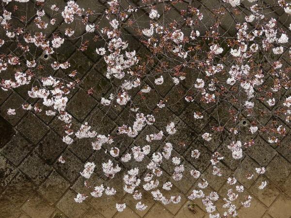 三沢川の桜並木_a0351368_21411902.jpg