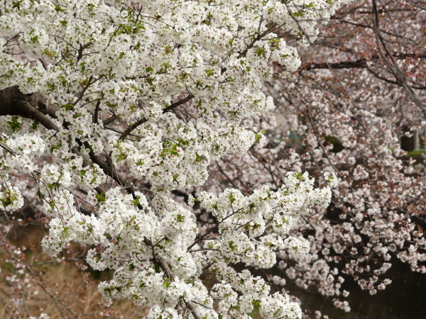桜まつり_a0351368_21420682.jpg