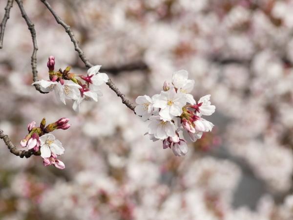 桜まつり_a0351368_21431265.jpg
