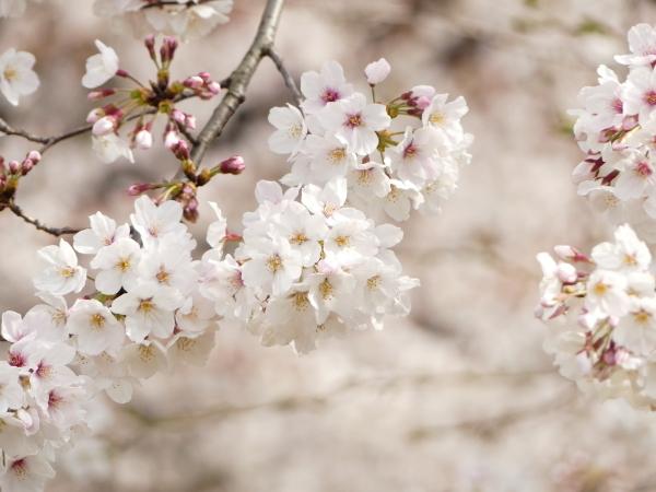 桜まつり_a0351368_21441310.jpg