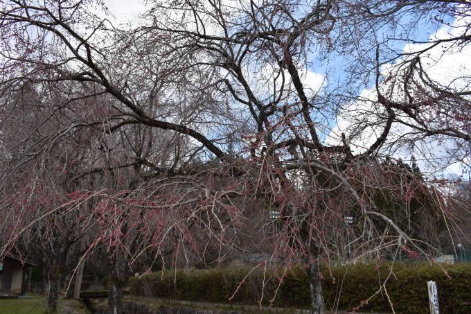 桜の開花情報_c0238069_14414737.jpg