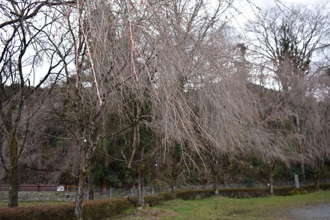 桜の開花情報_c0238069_14415146.jpg