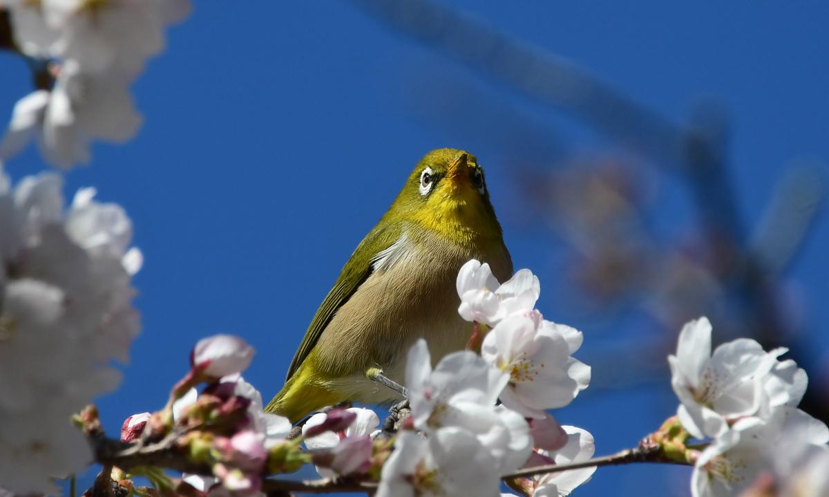 桜にメジロ_f0053272_23255578.jpg