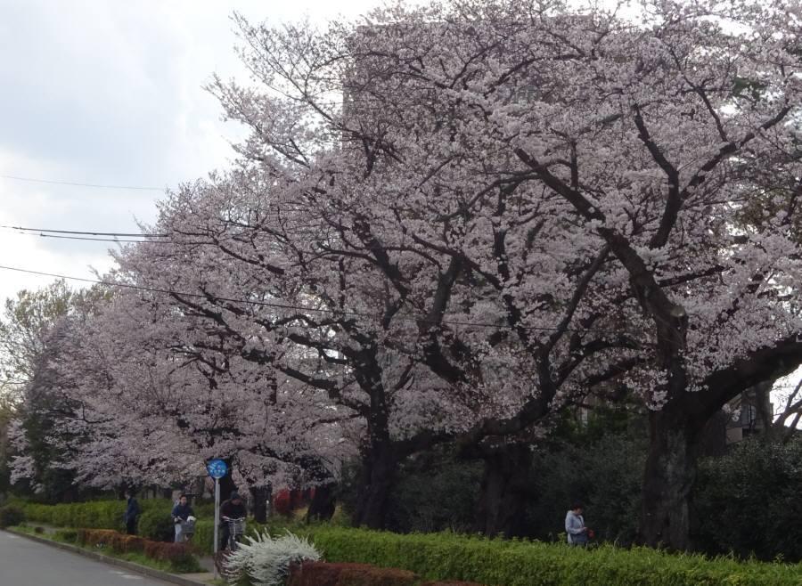 桜が満開_f0059673_15582025.jpg