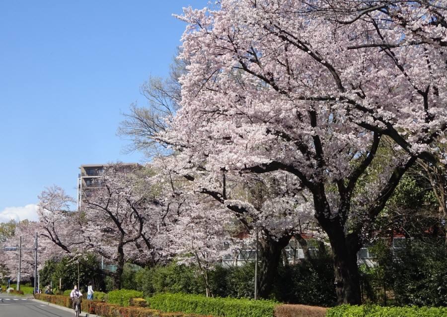 桜が満開_f0059673_16063022.jpg