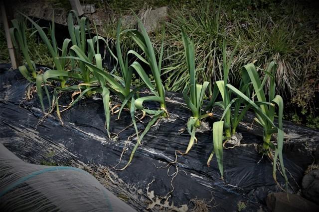 春の北摂の家庭菜園・・!!_f0229190_15114371.jpg