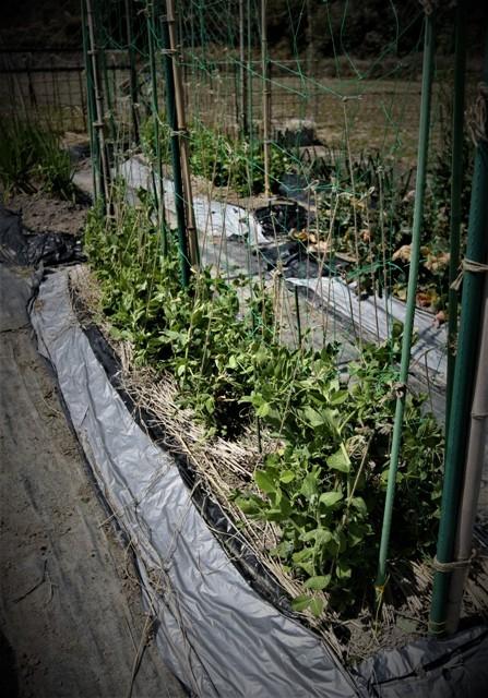 春の北摂の家庭菜園・・!!_f0229190_15191271.jpg