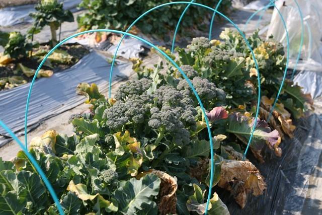 春の北摂の家庭菜園・・!!_f0229190_15212053.jpg