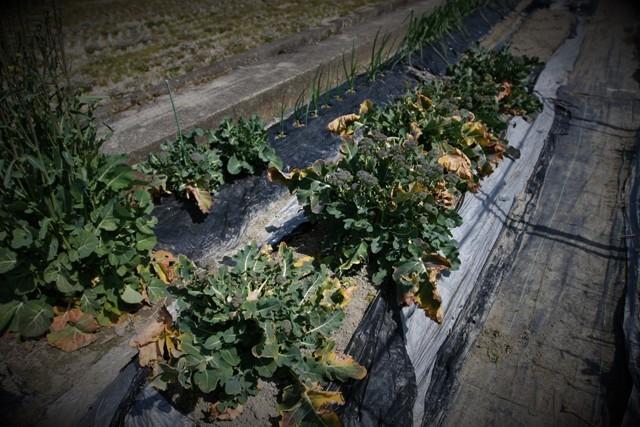 春の北摂の家庭菜園・・!!_f0229190_15215091.jpg