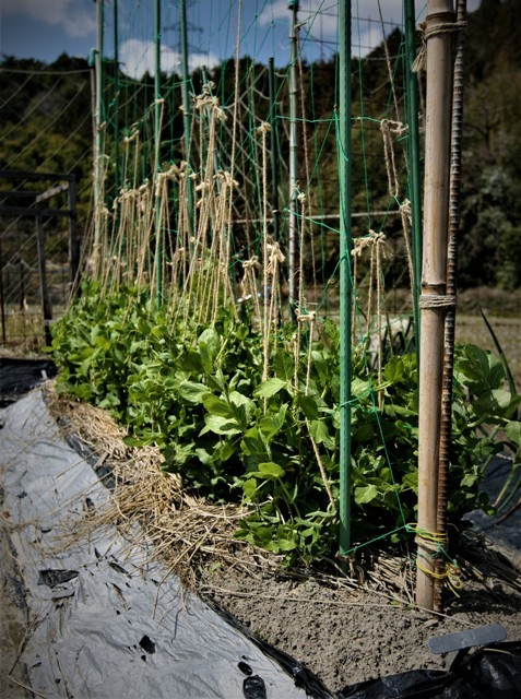 春の北摂の家庭菜園・・!!_f0229190_15302401.jpg