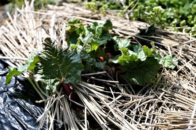 春の北摂の家庭菜園・・!!_f0229190_15342399.jpg