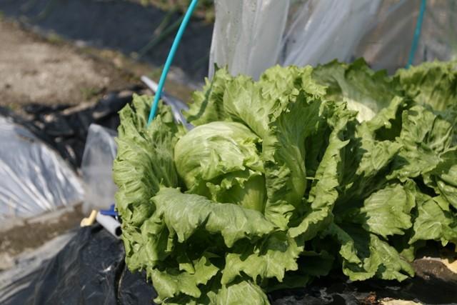 春の北摂の家庭菜園・・!!_f0229190_15363568.jpg
