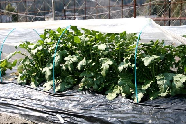 春の北摂の家庭菜園・・!!_f0229190_15435949.jpg