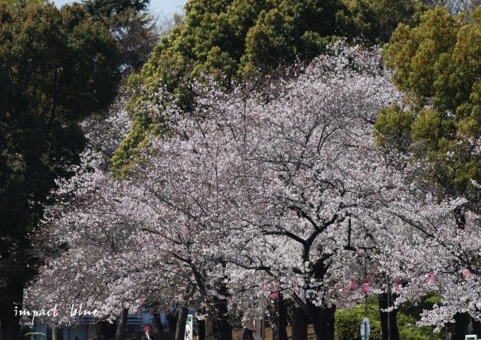 河川敷公園の桜模様(^^)/_a0355908_19305859.jpg