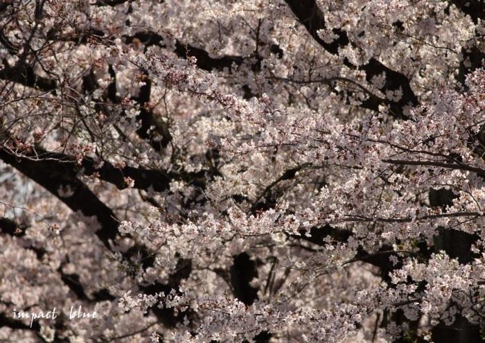 河川敷公園の桜模様(^^)/_a0355908_19310457.jpg