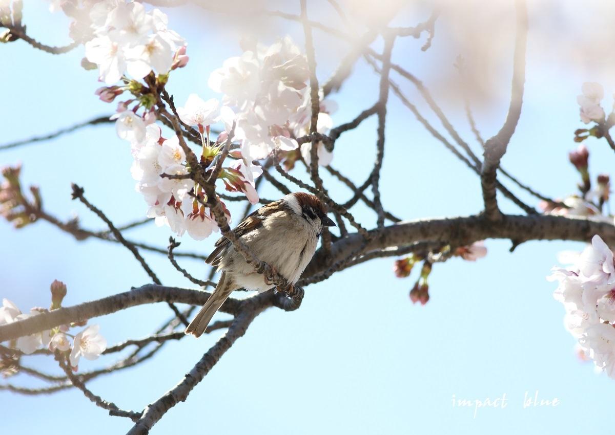 河川敷公園の桜模様(^^)/_a0355908_19310816.jpg