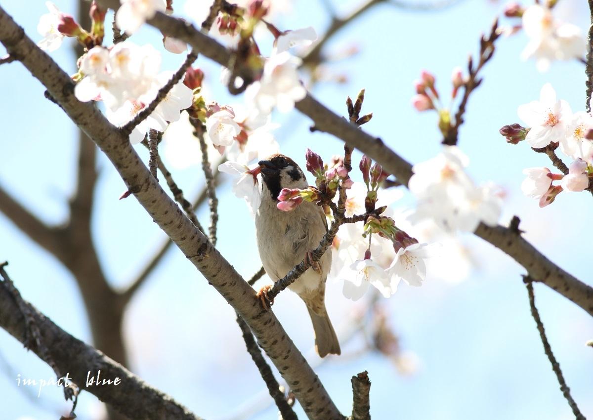 河川敷公園の桜模様(^^)/_a0355908_19311213.jpg