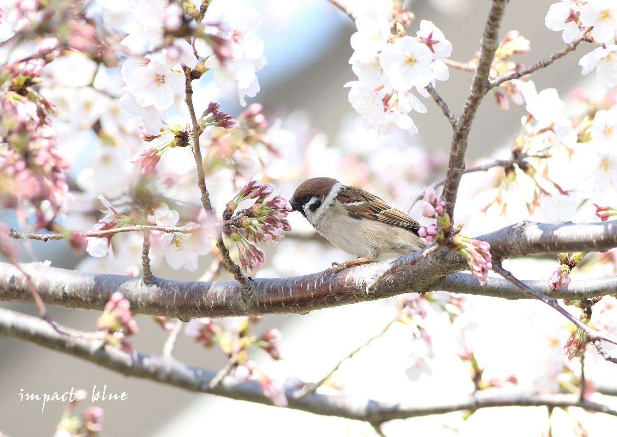 河川敷公園の桜模様(^^)/_a0355908_19311775.jpg