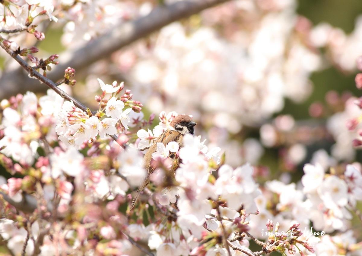 河川敷公園の桜模様(^^)/_a0355908_19312215.jpg