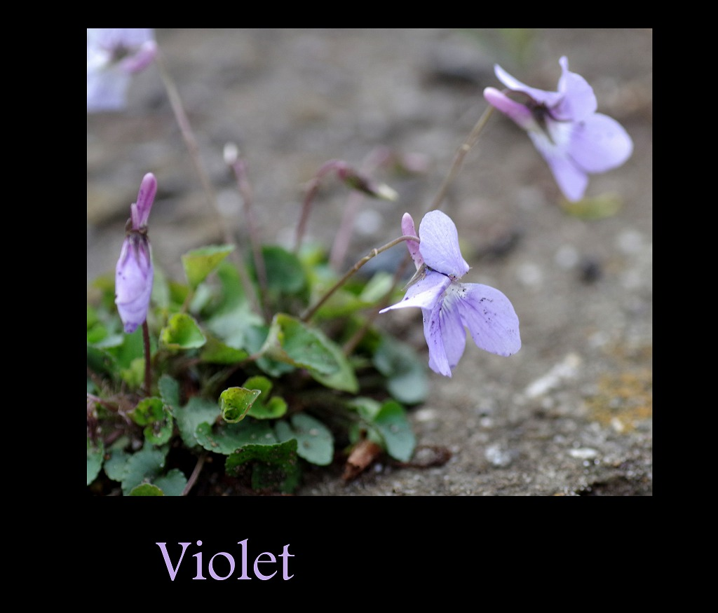 菫も咲いている_d0147812_17382865.jpg