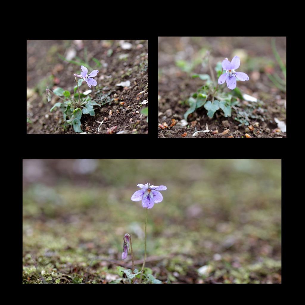菫も咲いている_d0147812_17413911.jpg