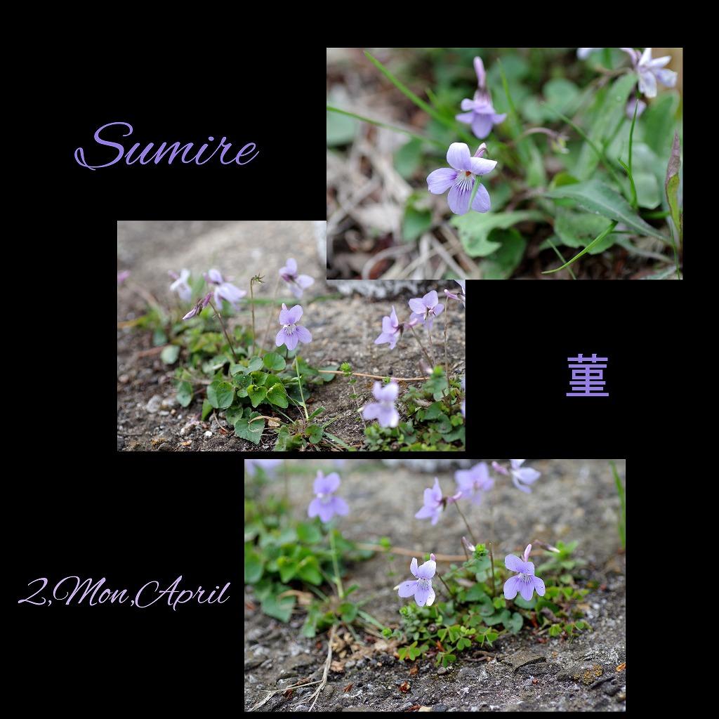 菫も咲いている_d0147812_17415553.jpg