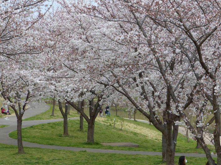 お花見2019 身近な公園編_f0296312_19333601.jpg
