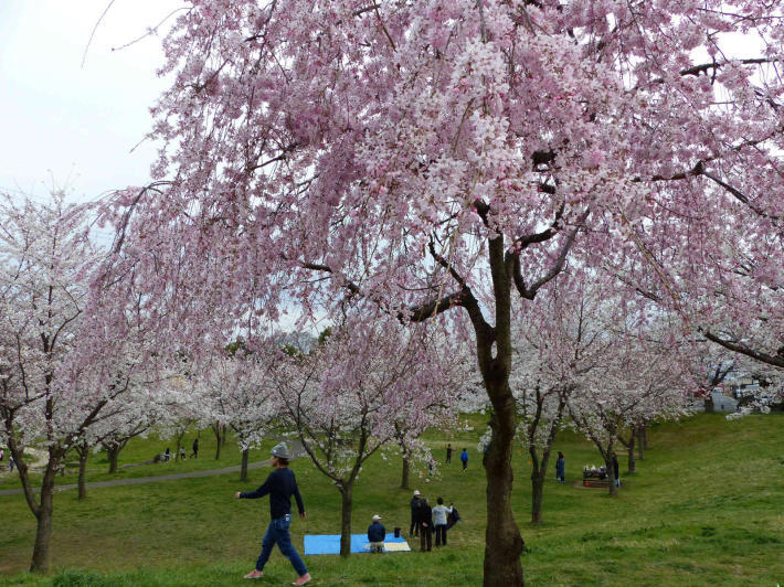 お花見2019 身近な公園編_f0296312_19374700.jpg