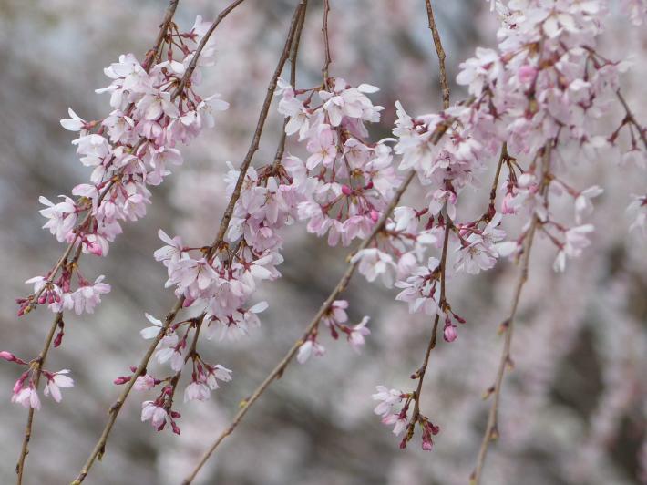 お花見2019 身近な公園編_f0296312_19375087.jpg