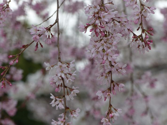 お花見2019 身近な公園編_f0296312_19404707.jpg