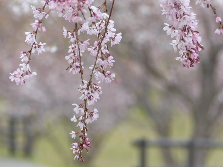 お花見2019 身近な公園編_f0296312_19405152.jpg