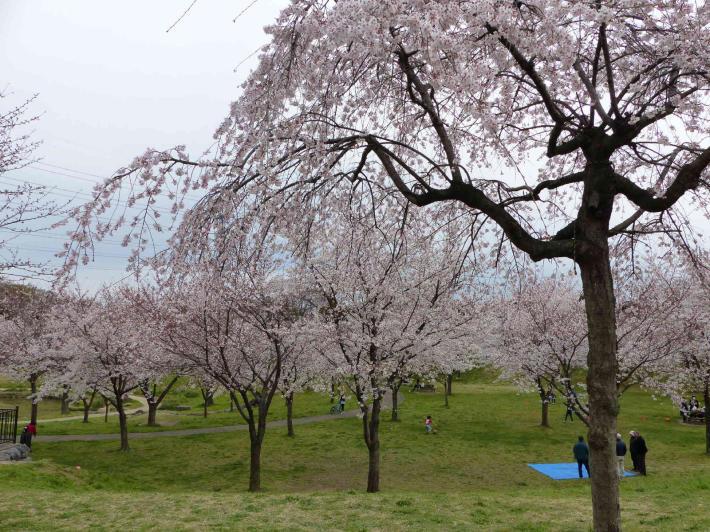 お花見2019 身近な公園編_f0296312_19420643.jpg