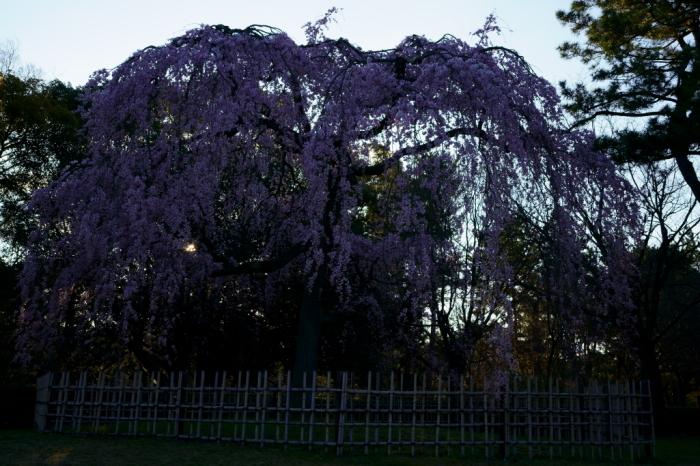 京都御苑出水の糸桜_e0177413_20062226.jpg
