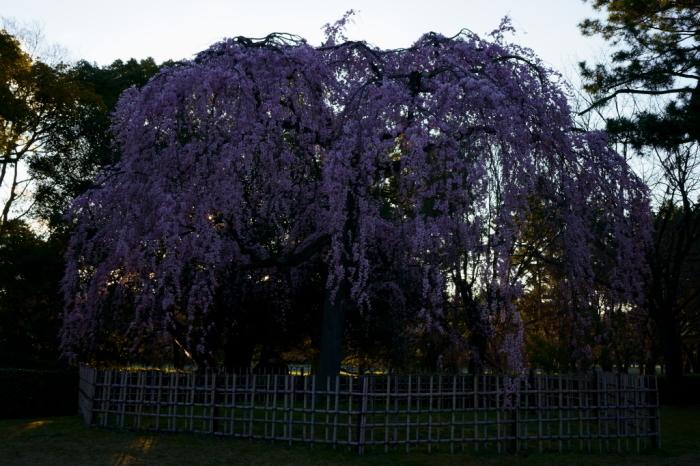 京都御苑出水の糸桜_e0177413_20063253.jpg
